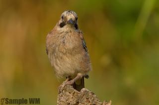 Uccelli_5