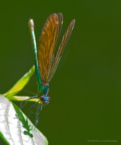 Calopteryx virgo-5