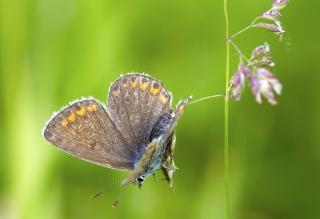Lycaenidae-2