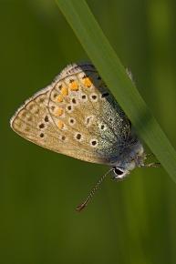 Lycaenidae-4
