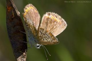 Lycaenidae-7