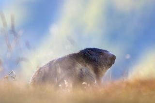 Marmotta-8