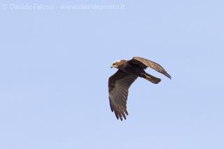 Falco di palude-1