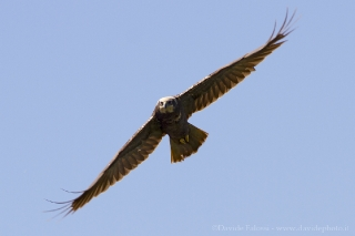 Falco di palude-3